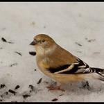 Goldfinch in Winter