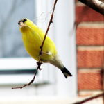 Goldfinch-Nesting Material