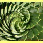 Spiral Aloe