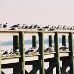 gulls all in a row