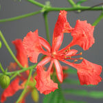 Gulmohar macro