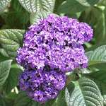 Purple Heliotrope flowers