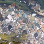 Hermit Crabs in a Tidal Pool