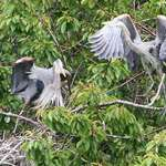 Heron Confrontation