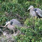 Great Blue Herons  - Proud Parents & Babies-In the Wild