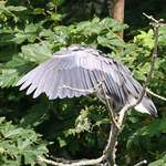 Heron Parasol, tip of beak below