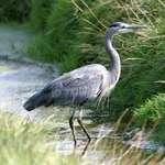 Heron in the Stream