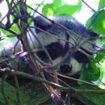 hiding baby raccoon