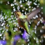 Hummingbird - Crazy over the Fountain spray