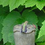 Hummingbird displaying tail spots