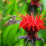 Hummingbird at Monarda