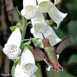 Hummingbird near Foxglove Flowers
