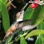 Hummingbird near Japonica