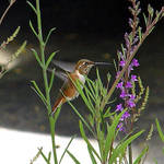Hummingbird - side view, note the tiny feet