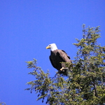 Bald Eagle over Lake Jean