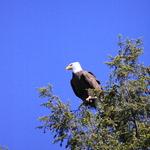 Bald Eagle over Lake Jean