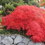 Japanese Cutleaf Maple & textures