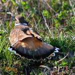 Killdeer Displaying with Tail feathers