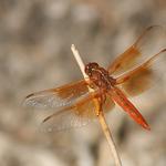 Large Orange Dragonfly