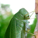 Leaf Bug Close Up