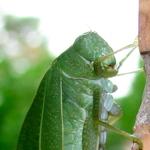 Leaf Bug Close Up