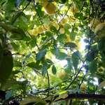 Our Lemon Tree 1