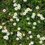Little Daisies