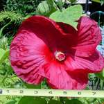 LUNA hibiscus