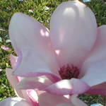 Japanese Magnolia Flower