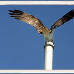 Male Osprey Warning Predators