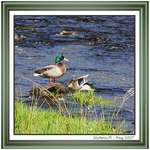 Mallards Relaxing Later in the Afternoon