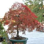 Large Red Maple Bonsai Tree