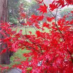 Maple Tree Beauty