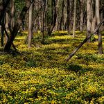 Marsh Marigolds in a Flood Plain