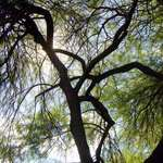 Mesquite Tree