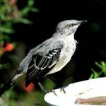 Young Mockingbird