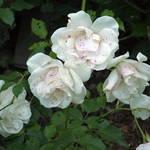 Mom's Rose #2