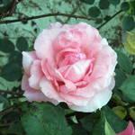 Mom's Rose #1