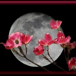 Dogwood Moon