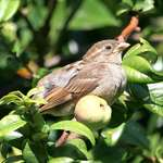 Mournful Baby Bird beside Quince