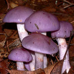Purple Mushrooms