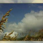 Sea Oats Reaching for the Sky