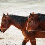 Navajo Ponies