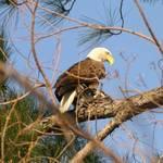 New Orleans Bald Eagle