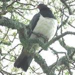 New Zealand Wood Pigeon (Kereru)