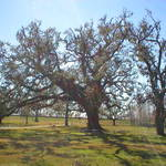 Oaks at the Battle Field