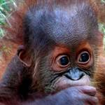 Baby Orangutan1