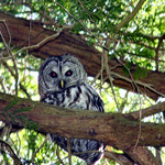 Owl - Spotted Owl in the Wild
