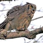 Great Horned Owl, Wild, walking on branch