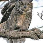 Great Horned Owl (wild) stretching at Sundown